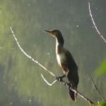 cormoran dans la forêt de Phalempin
